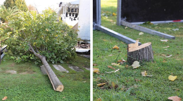 Konser için 25 yıllık ıhlamur ağacını kestiler!
