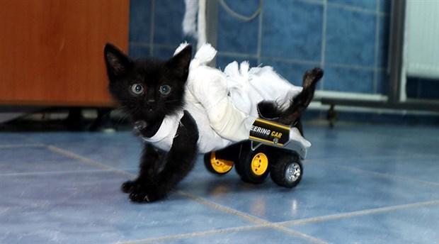 Felçli kedi ilk adımlarını yürüteçle attı