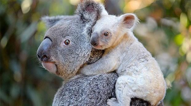 Avustralya'daki orman yangınlarında 350 koala hayatını kaybetti