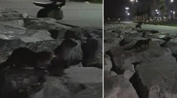 Zeytinburnu'nda iki su samuru görüntülendi