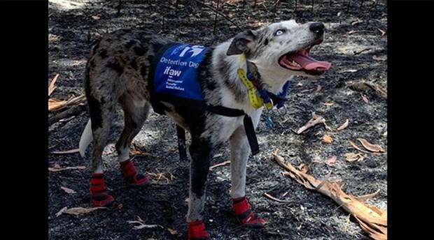 Avustralya, yangın bölgelerindeki koalaları kurtarmak için 'Bear' isimli köpeği eğitti