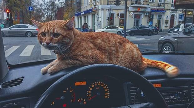 Ukrayna'nın en sevilen taksisinin muavini bir kedi