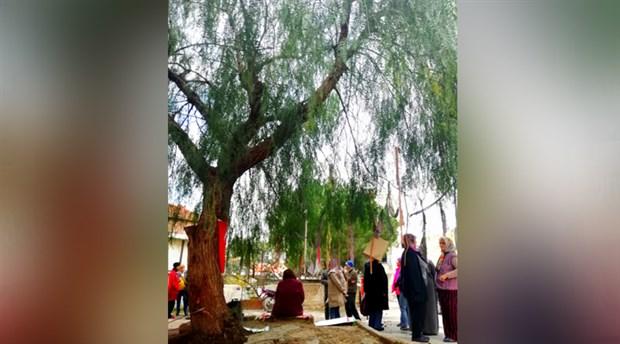 Mahalle, kalan son ağaç için direniyor