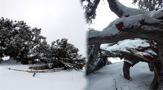 2 bin yıllık anıt ağaç kar yağışına dayanamadı