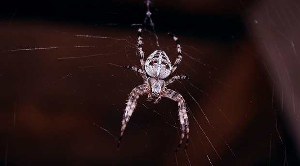Avustralya'da 'zehirli örümcek' krizi