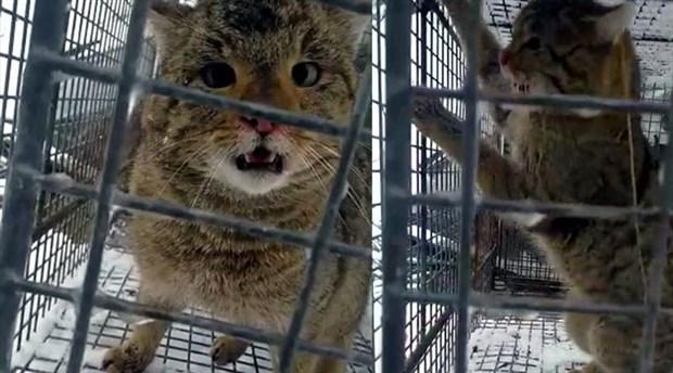Alabalık çiftliğinden balıkları çalan hırsız kedi yakalandı: Doğal ortamına salındı