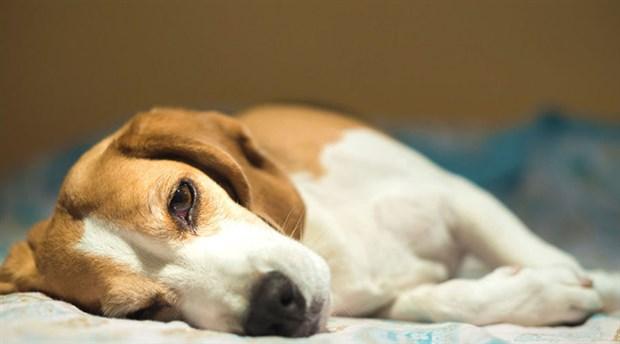 Rusya'da bir kişi, akrabalarının köpeğini öldürdüğü için 3 yıl hapis cezasına çarptırıldı
