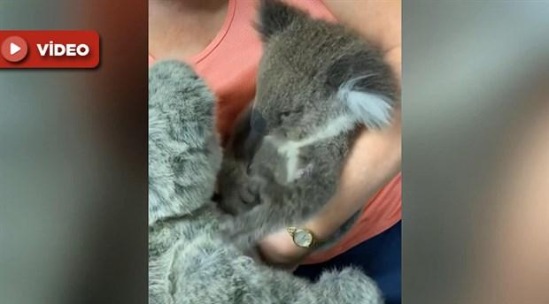 Öksüz koala, oyuncak ayıyı annesi zannetti