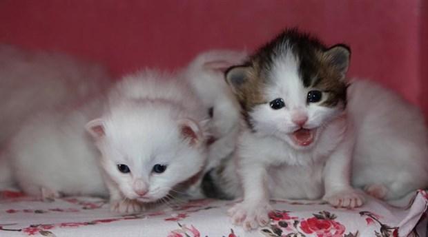 2020'nin ilk Van kedileri dünyaya geldi