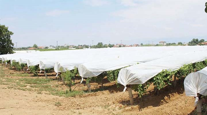 Alaşehir'de kazanan üzüm oldu