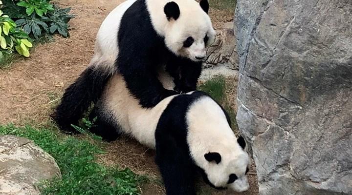 Koronavirüs nedeniyle ziyaretçi almayan hayvanat bahçesinde pandalar çiftleşti