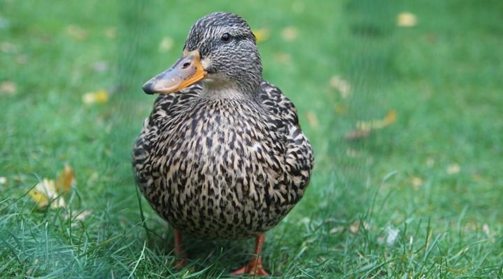 Çekirgeler sürü oluşturuyor, uzmanlar ördekleri işaret ediyor