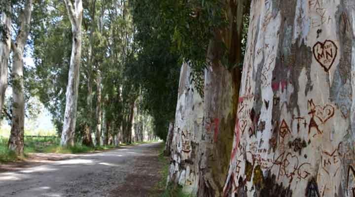 82 yıllık okaliptüs ağaçlarını yazı tahtasına çevirdiler