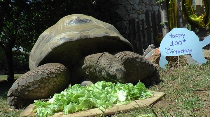 Türkiye'nin en yaşlı kaplumbağası Tuki, 100 yaşında