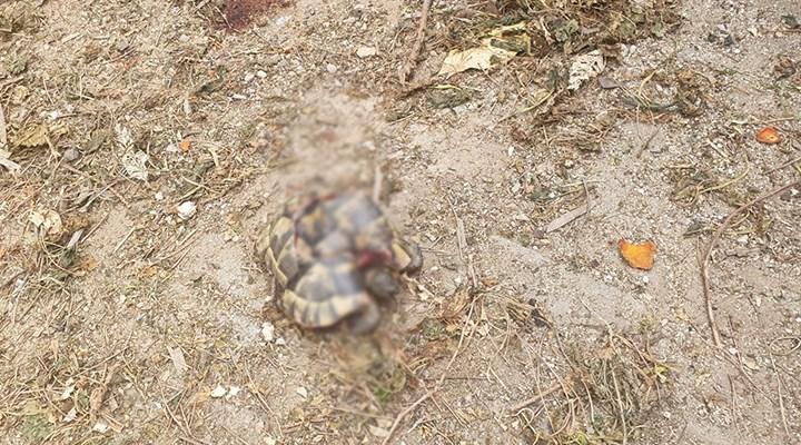 """Antalya'da kaplumbağaları öldüren kişi yakalandı: """"Kara büyü olduğu için öldürdüm"""""""