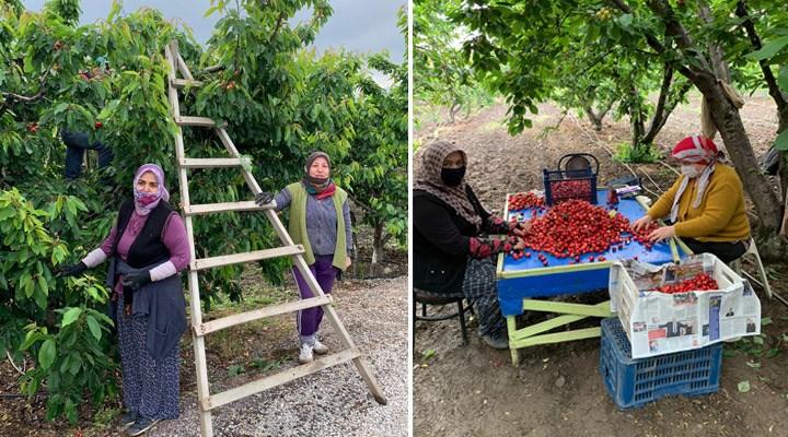 İzmir dayanışması büyüyor: 432 gönüllü 150 üreticiye meyve hasadına gidiyor