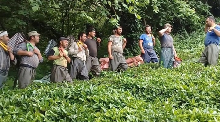 AKP'liye çay toplamak salgında da serbest