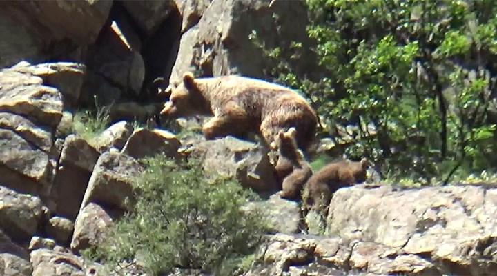 Erzurum'da oyun oynayan boz ayı ailesi görüntülendi