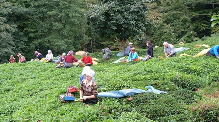 Rize'de testi pozitif çıkan çay üreticisi sayısı 15'e yükseldi