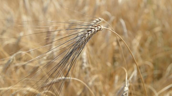 Karakılçık buğdayı Çukurova'nın topraklarıyla buluşuyor