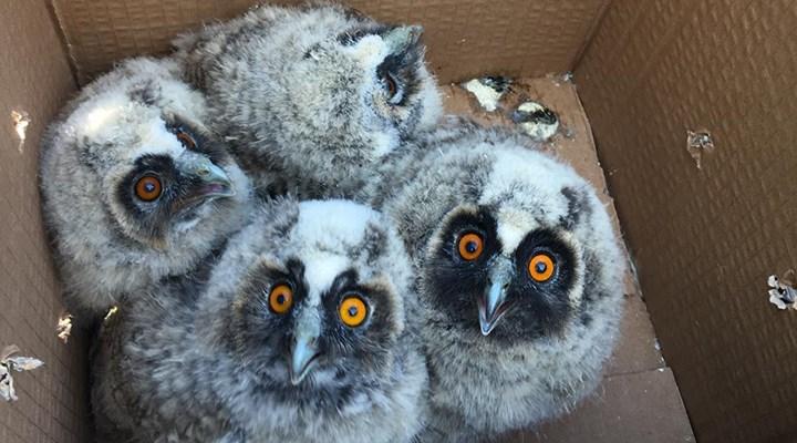 Anneleri ölünce direkte mahsur kalan yavru baykuşlar kurtarıldı
