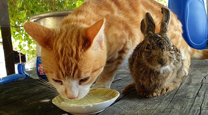 Ev kedisi, tavşan yavrusunu evlat edindi