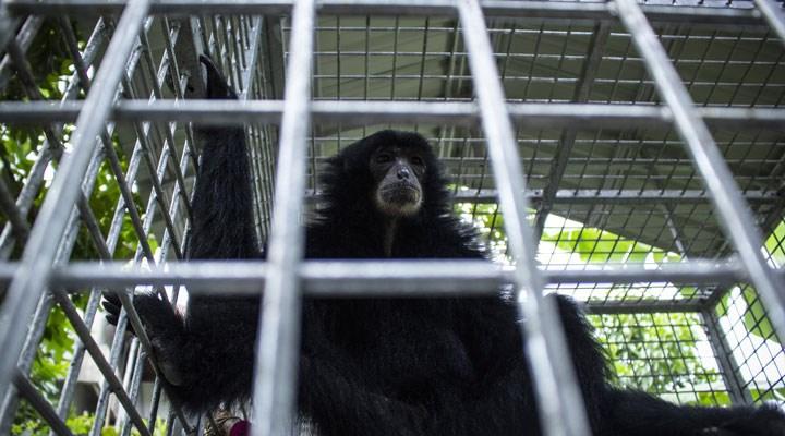 Tayland'a, hindistan cevizi tesislerinde kullanılan 'köle maymunlar' nedeniyle boykot