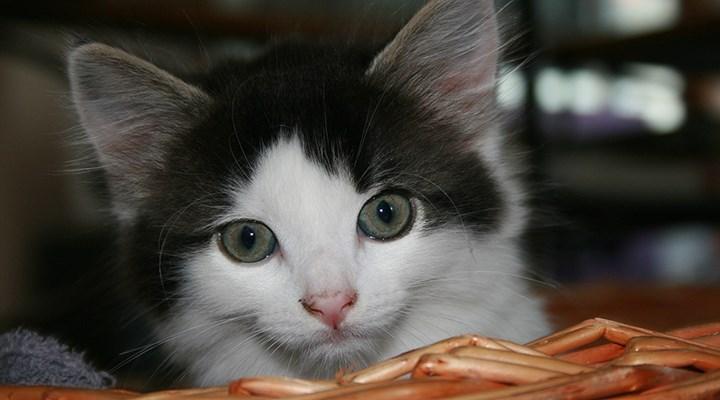 İngiltere'de ilk defa evcil bir kedide Covid-19 tespit edildi