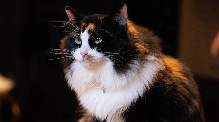 Koronavirüsün kedilerle ilişkisi üzerine yeni bilimsel araştırma