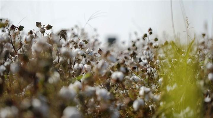 Çiftçi pamuk üretimini terk ediyor