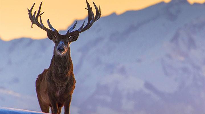 18 kızıl geyik kurtuldu