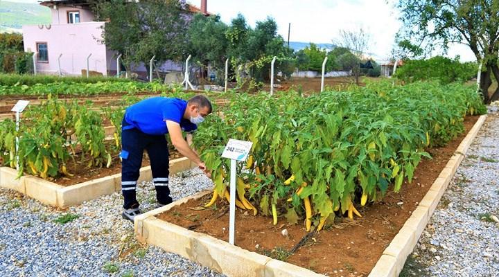 Muğla Büyükşehir 5 milyon 640 bin yerel tohum dağıttı
