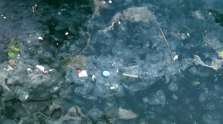 İstanbul Boğazı'nda denizanası yığılması: Sebebi lodos ve poyraz
