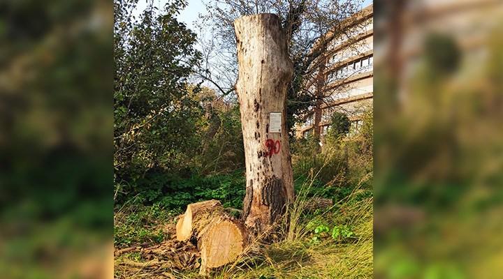 Validebağ'da anıt ağaçlar tehlikede: Bakım değil budama!