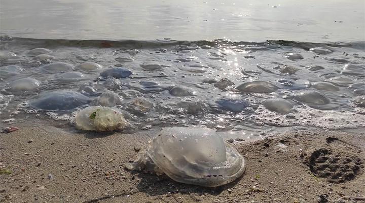 Marmara sahillerinde denizanası yoğunluğu: Sebebi kuraklık