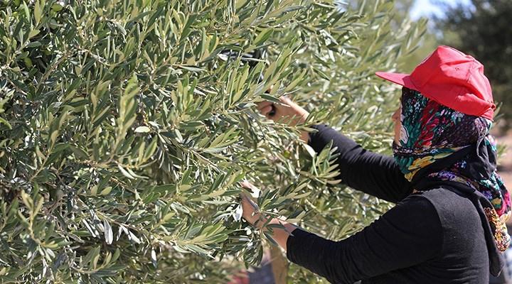 JES'ler zeytin üretimini azalttı: Rekolte beklentisi son 11 yılın gerisinde