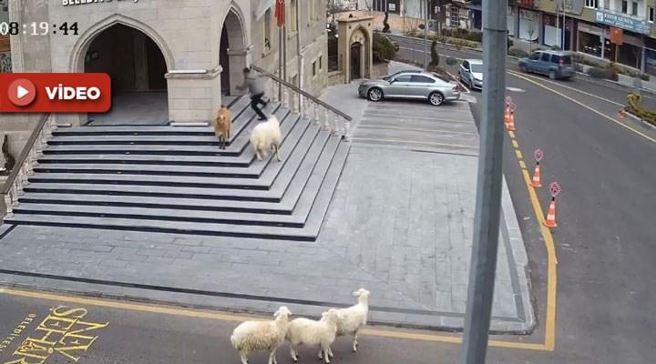 1 koyun, 1 keçi ve 3 kuzu, belediye binasına 'baskın' yaptı