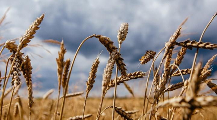 Buğday ve arpa ithalatında gümrük vergisi sıfırlandı