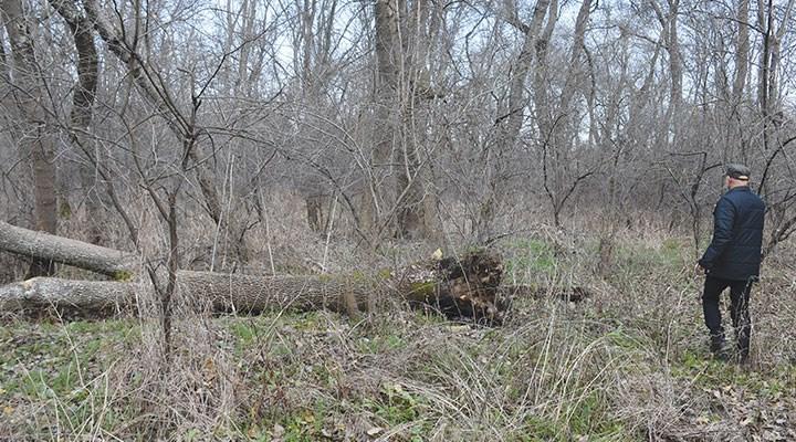 Tarihi bölgede ağaç kesilmesine tepki