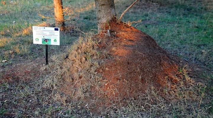 Trakya'da zaralı böceklere karşı savaşan kırmızı karıncaların soyu tükeniyor