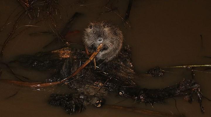 Kırmızı alarm verilen Tunca Nehri'nde su maymunları görüntülendi