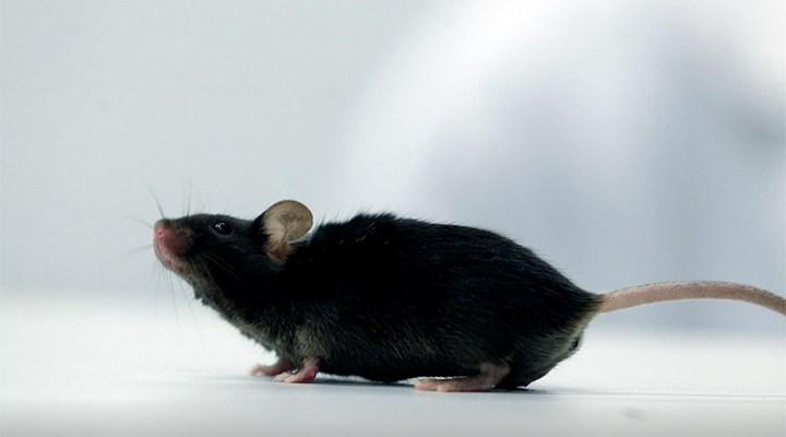 Almanya'da bilim insanları, felçli fareyi yeniden yürüttü