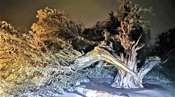 Denizli'nin 500 yıllık ardıç ağacı fırtınaya dayanamadı