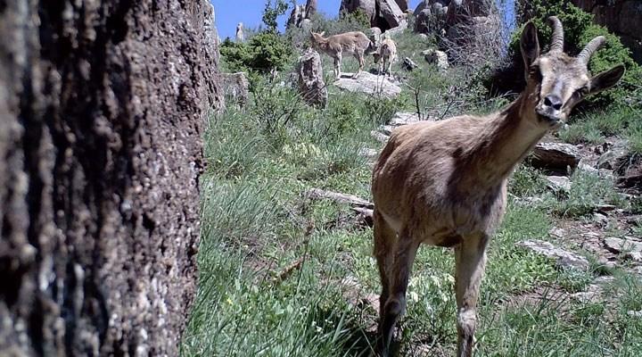 Kurt, ayı, vaşak, ceylan ve kaçak avcılar fotokapanlara yakalandı