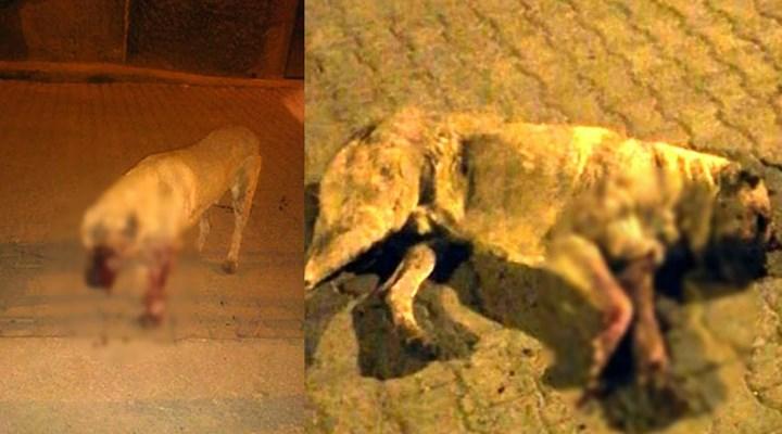 Sokak köpeğinin gözlerini oyup öldüresiye dövdüler