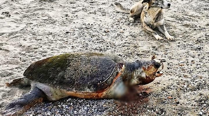 Muğla'da Caretta Caretta'nın yüzgecini kesip ölüme terk ettiler