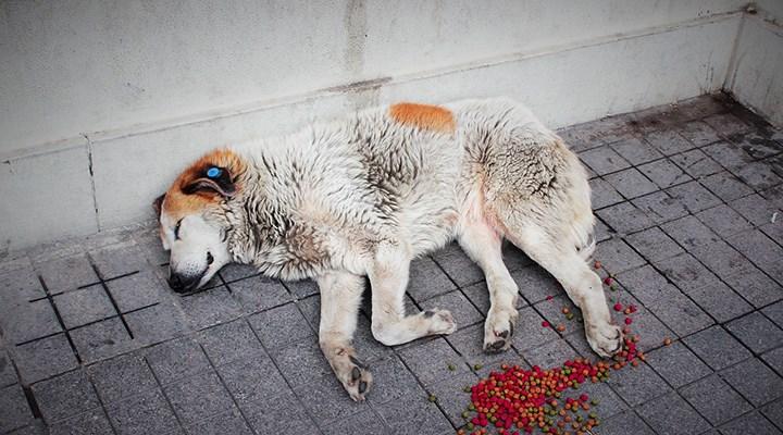 Hasta diye veterinere götürülen köpeğin vücudundan yüzlerce saçma çıktı