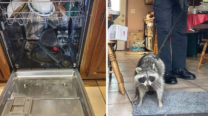 Eve giren rakun, bulaşık makinesinde uyuyakaldı