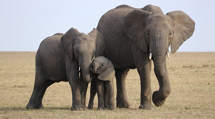 Afrika'da son 31 yılda fillerin sayısı yüzde 86 azaldı