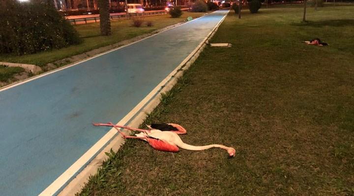 İzmir'de 9 flamingo, yaşamını yitirmiş halde bulundu: İnceleme yapılacak
